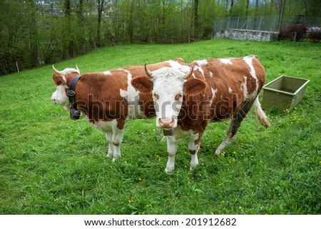 2 chubby cows in grass field - stock photo