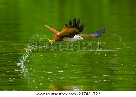 Close up Brahminy kite(Haliastur indus) flying and catching on water in nature of Thailand - stock photo