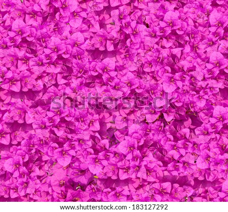 Close-up Flowers purple blooming of bougainvilleas.