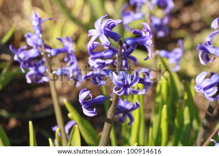 close  up  hyacinth background  in spring (Iwate,  Japan)