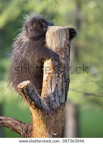 Close up image of a North American porcupine resting on a tree branch, during the golden hour of evening light. - stock photo