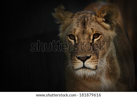 close up Lion over darkness - stock photo