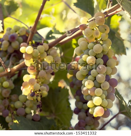 Close-up of a bunch of grapes on grapevine in vineyard. Shallow DOF - stock photo