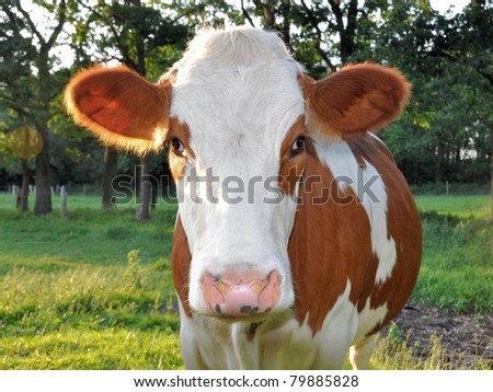 Close-up of a curious young cow looking into the camera - stock photo