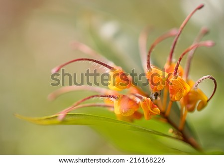 Close-up of awesome orange flower Australian native wildflower Grevillea venusta also known as spider flower - stock photo