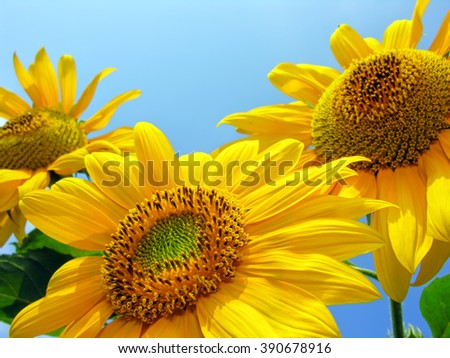 close-up of blooming sunflowers on blue sky background