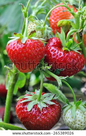 close-up of ripe strawberry in the vegetable garden - stock photo