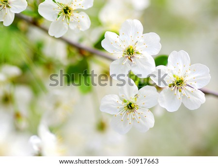 Close up of the cherry blossoms
