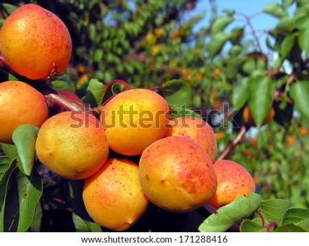 close-up of the ripe apricots in the orchard#6 - stock photo