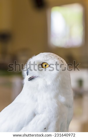 Close up snowy Owl - stock photo