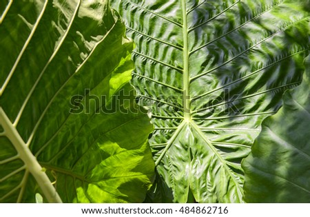 close up texture of yellow green taro leaf under the sunlight