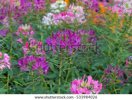 close up Violet cleome hassleriana blooming. Spider flower