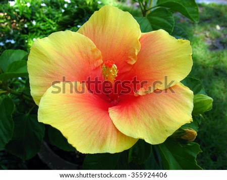 close up yellow hibiscus flower, big yellow hibiscus flower,yellow flower - stock photo