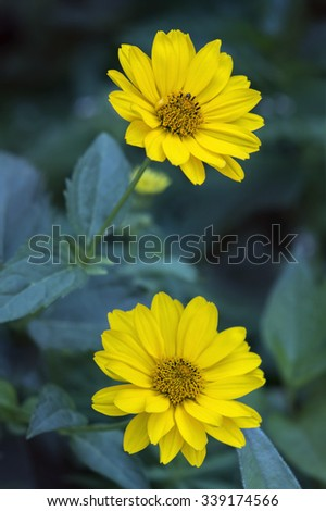 Close view of two Arnica herb  blossoms . - stock photo
