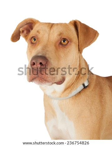 Closeup of an adorable Staffordshire Bull Terrier Mix Breed Dog. - stock photo