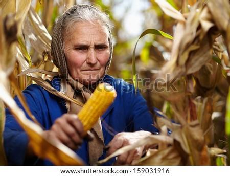 Closeup of old female farmer harvesting corn - stock photo