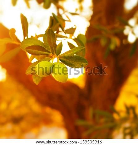 Closeup on olive tree branch, fresh ripe fruits, healthy nutrition, organic food, warm sunset light, soft focus, autumn harvest season                               - stock photo