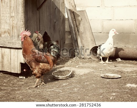 Cock, duck and hens in farm yard background. Vintage effect style.  - stock photo