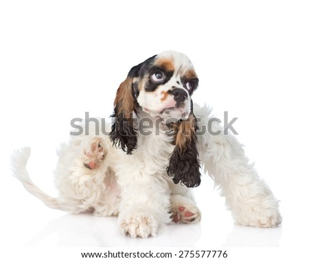 Cocker Spaniel puppy scratching. isolated on white background