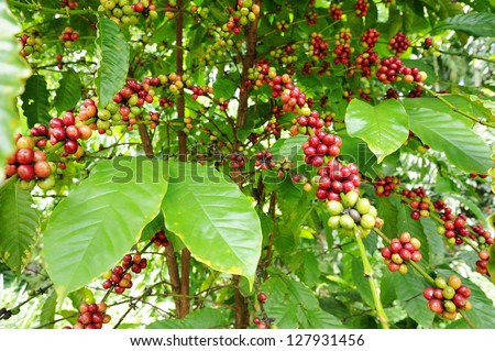 Coffee - Coffee tree with ripe - Coffee beans on trees - stock photo