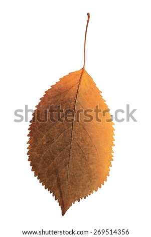 colorful cherry leaf isolated over white background, natural element for your design - stock photo