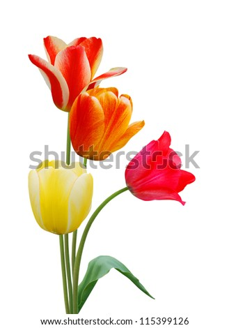 colorful tulip flowers  isolated on white - stock photo