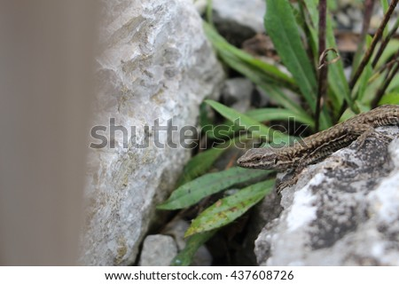 """Common Wall Lizard""(or European Wall Lizard) in Innsbruck, Austria. Its Latin name is Podarcis Muralis, native to southern and central Europe and northeastern Asia."