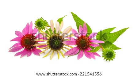 Coneflower with bud and leaves isolated on white - stock photo