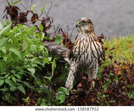 Cooper's Hawk in the rain - stock photo