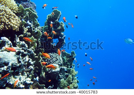 Coral fish of the  Red sea. Egypt