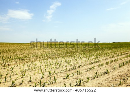 corn in the agricultural field, unripe green corn, summer