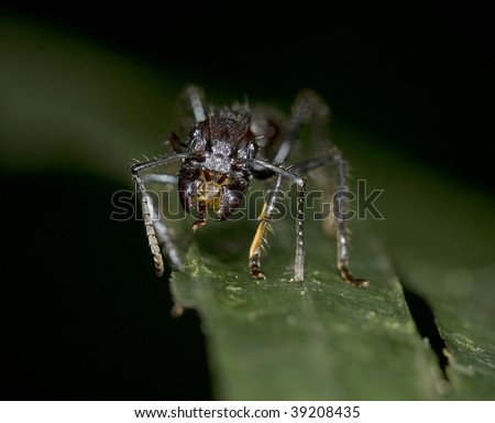 costa rican bullet ant. Paraponera clavata , black hairy venomous poisonous insect with incredible sting believed to be the number 1 most painful in the world, selva verde, costa rica - stock photo