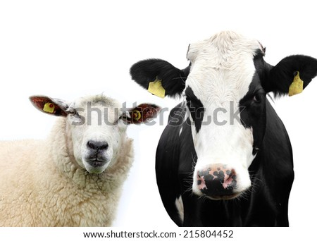 Cow and Sheep isolated - stock photo