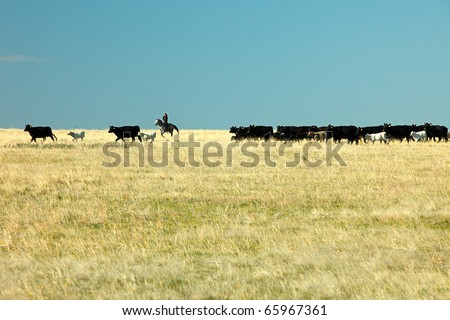 Cowboys rounding up beef cattle on a ranch in the American west. - stock photo
