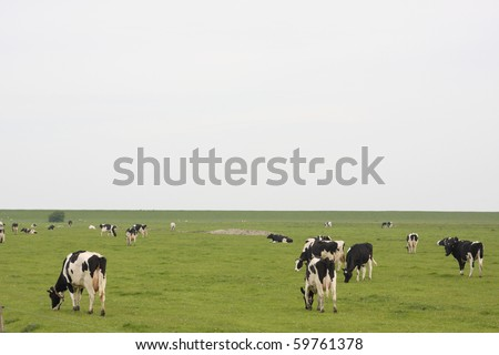 cows on pasture in northern Germany - stock photo