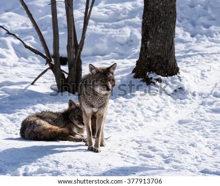 Coyote in Winter - stock photo