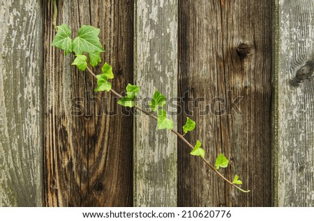 creeping ivy  - stock photo