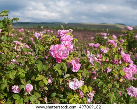 crimean pink damask rose bush closeup on field background, local focus, shallow DOF