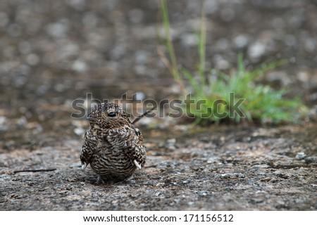 Cuban Nightjar (Caprimulgus cubanensis) . Frogmouth (Nightjare) on the ground - stock photo