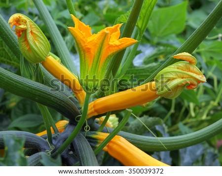 cucurbitaceae - stock photo