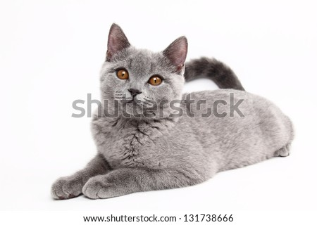 curious british cat - stock photo