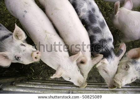 curious pigs on an eco farm waiting for food, focus on face ( eyes) of the left side pig - stock photo