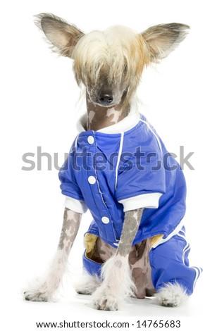 Cute Chinese Crested Dog(hairless dog) - stock photo