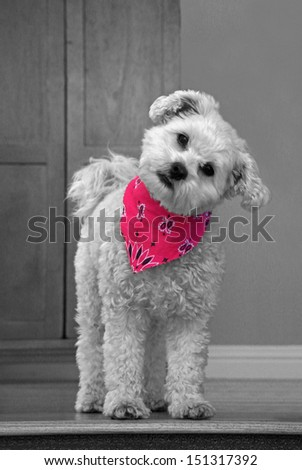 Cute dog in pink bandanna                         - stock photo