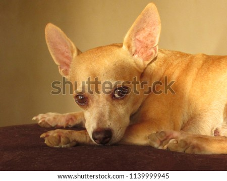 Cute golden chihuahua dog lying in the coach looking at camera