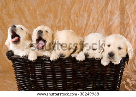 5 Cute Golden Retriever puppies sitting in wicker basket, on brown fabric background - stock photo