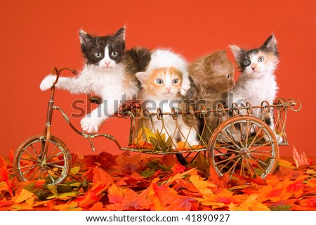 4 Cute LaPerm kittens on mini bicycle with Autumn leaves on orange background - stock photo
