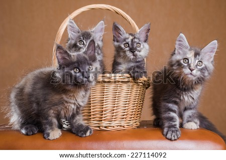 4 Cute Maine Coon kittens  - stock photo