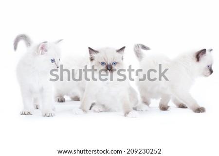 4 Cute Ragdoll kittens on white background - stock photo