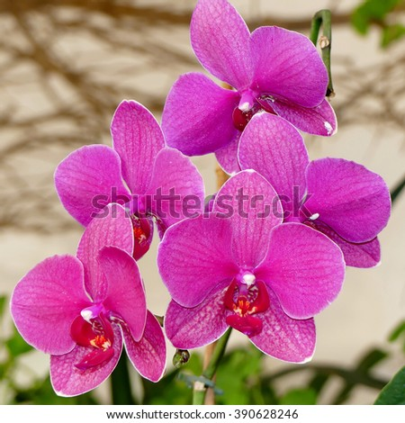 -Cymbidum Baltic orchid - stock photo